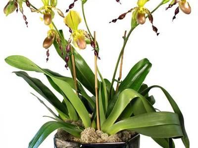 Medium thumb cover orchid arr